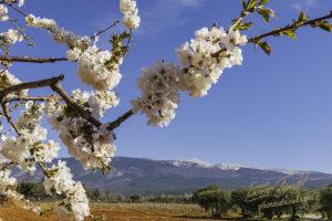 Cerisiers floraison 2021